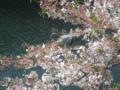 [横浜][植物][動物]桜の花をついばむ鳩