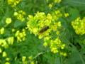 [横浜][動物][植物]菜の花に