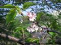 [横浜][植物]残る桜