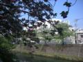 [横浜][植物]八重桜