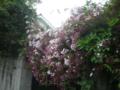 [横浜][植物]ジャスミンの花