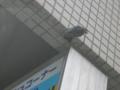 [金沢区][動物]燕がやってきた