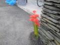 [横須賀][花]ヒガンバナ