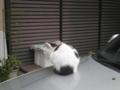 [磯子区][ねこ]うしねこ