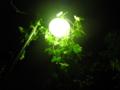 [金沢区][植物]からみつく
