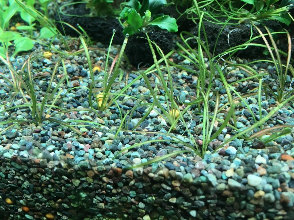 前景草の植え直し。 - いろんな魚と暮らす。