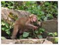 地獄谷野猿公苑 子猿の冒険
