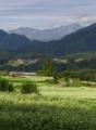 蕎麦畑と北アルプス