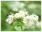 蕎麦の花とアリ
