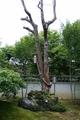 [寺社][木]妙心寺/東林院 沙羅双樹