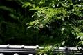 [寺社][木]妙心寺/東林院 沙羅双樹の花