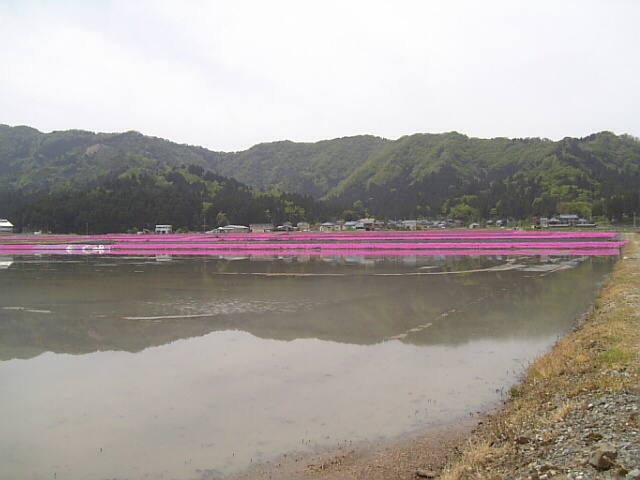あぜ道の斜面にピンクの花