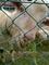 長野牧場の山羊
