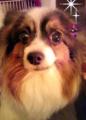 Julia(パピヨン・♀・9歳6ヶ月)