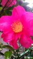 09/12/11:雨の…椿?山茶花?