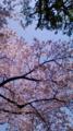 10/04/06:桜木