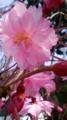 10/04/06:枝垂れ桜花