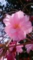 10/04/06:桜花