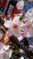 10/04/08:桜花とカーブミラー支柱