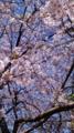 10/04/08:桜木