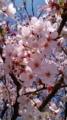 10/04/08:桜花