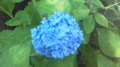 青い紫陽花