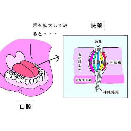 人の舌に分布する味蕾の概略図