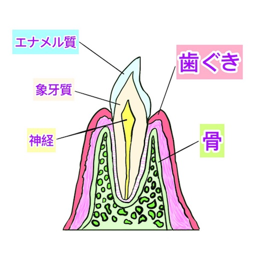 解剖学的な歯周組織の図