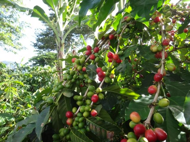 コーヒーの木とコーヒーチェリー