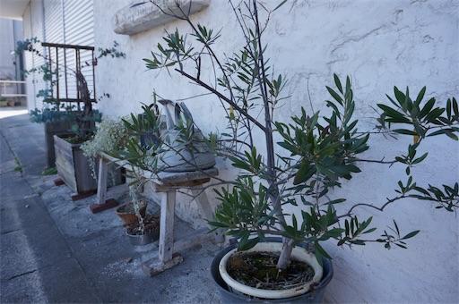 自家焙煎珈琲【Voyage】の前に置かれているオリーブの木
