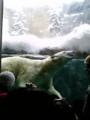 旭山動物園 ほっきょくぐまダイブ