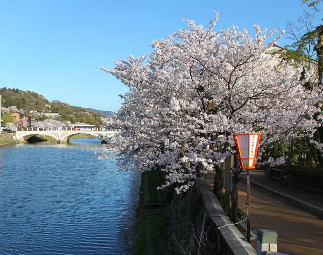 金沢・主計町茶屋街の浅野川沿いに咲く桜が満開(中の橋から浅野川方向)