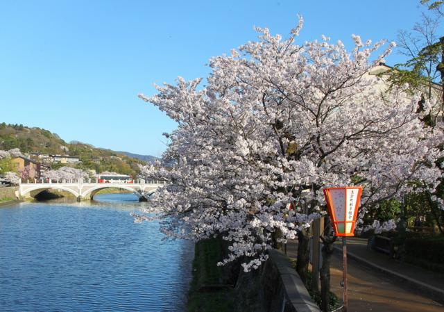金沢・主計町(かずえまち)茶屋街で,浅野川に映る満開の桜(2016年4月)
