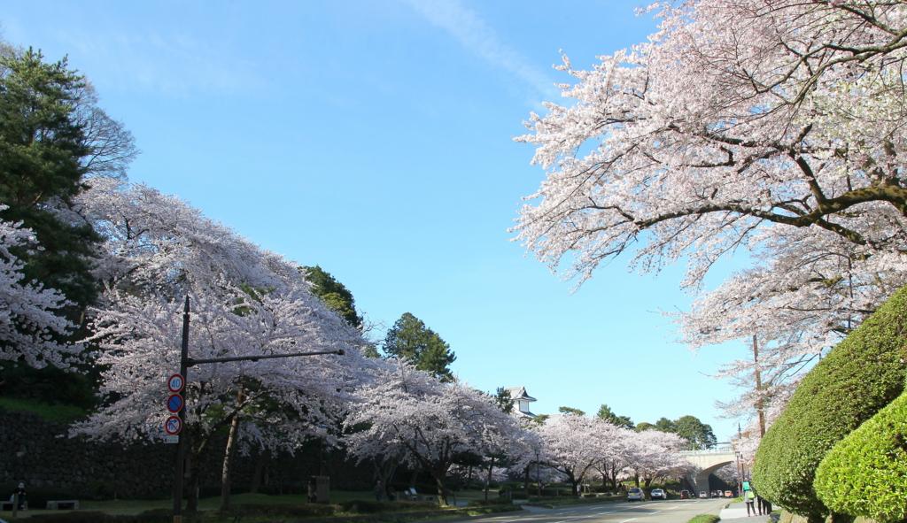 金沢城石川門の桜満開の様子を百間堀から