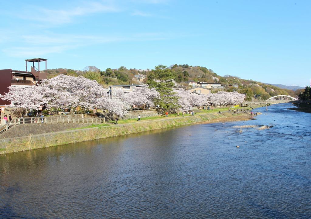 金沢・浅野川大橋からひがし茶屋街方向の桜並木が満開