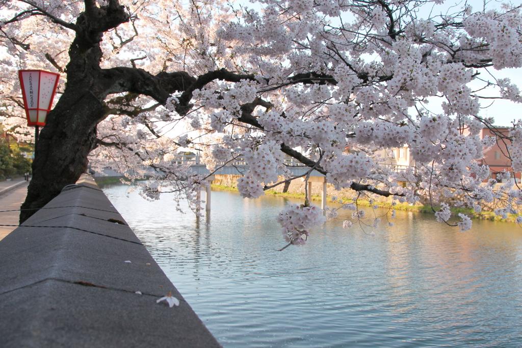 金沢・主計町茶屋街の浅野川沿いに咲く桜が満開(中の橋上から浅野川大橋方向)