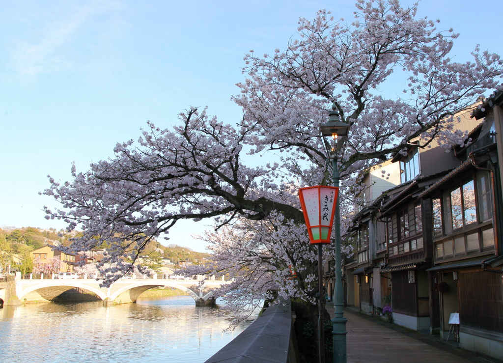 金沢・主計町茶屋街の浅野川沿いに咲く桜が満開(浅野川大橋方向)