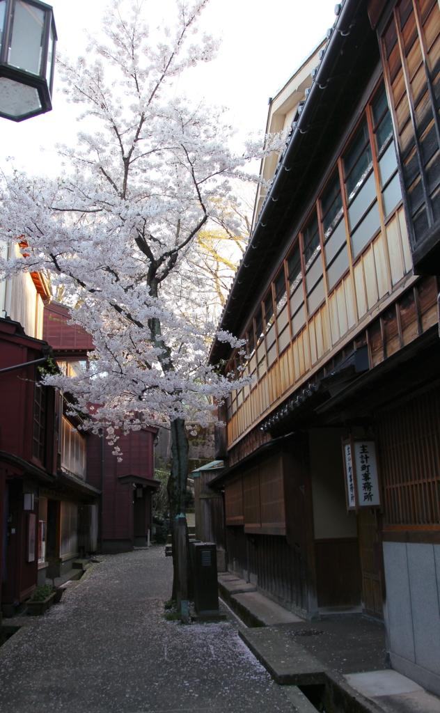 金沢でもっとも早く咲くと言われる,主計町茶屋街の暗がり坂下・検番前にある照葉桜(てりは・ざくら)が満開から散り始め