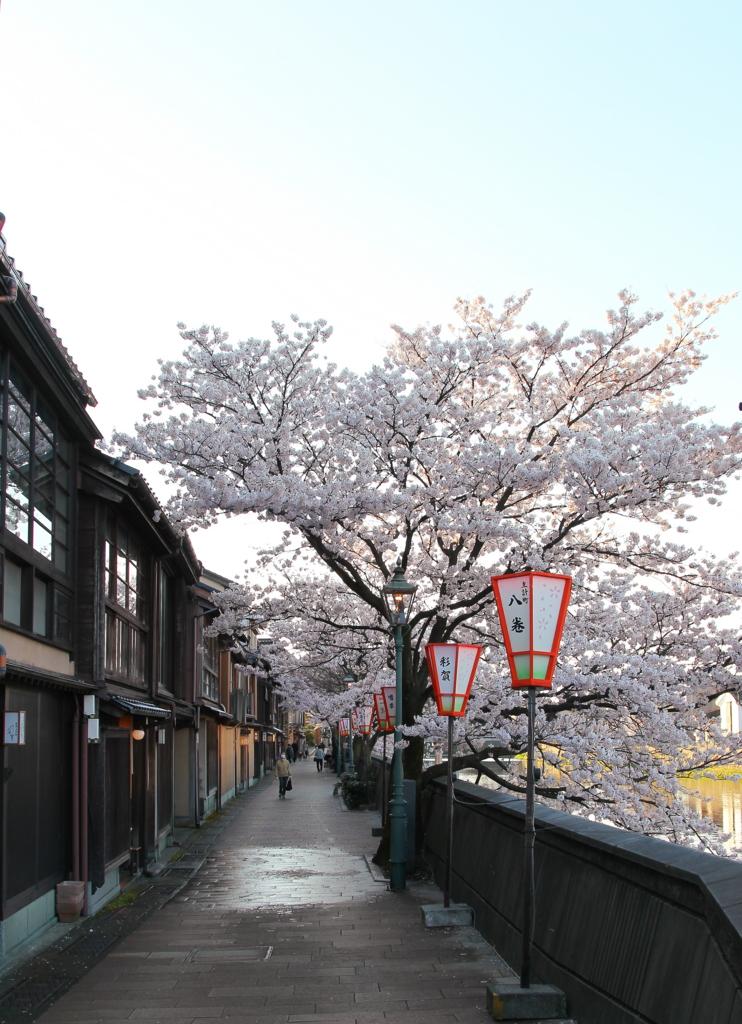 金沢・主計町茶屋街の浅野川沿いに咲く桜が満開(浅野川大橋から中の橋方向)
