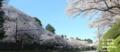 金沢・旧百間堀の桜(左は金沢城,右は兼六園)