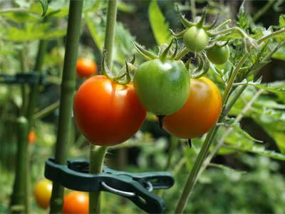 赤色に熟してきたトマトの実