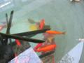 [金魚][生き物]