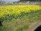 池尻:菜の花田圃