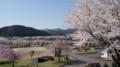 [亀岡]八木大橋公園の桜