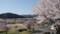 八木大橋公園の桜