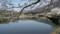 池尻東側の桜