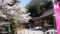 出雲神社境内の桜