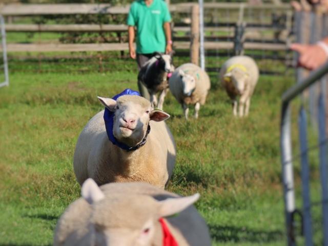 牧場の羊レース