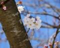「今日の青空を背景に咲く桜の花。」