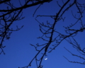 三日月と春を待つ桜の木。